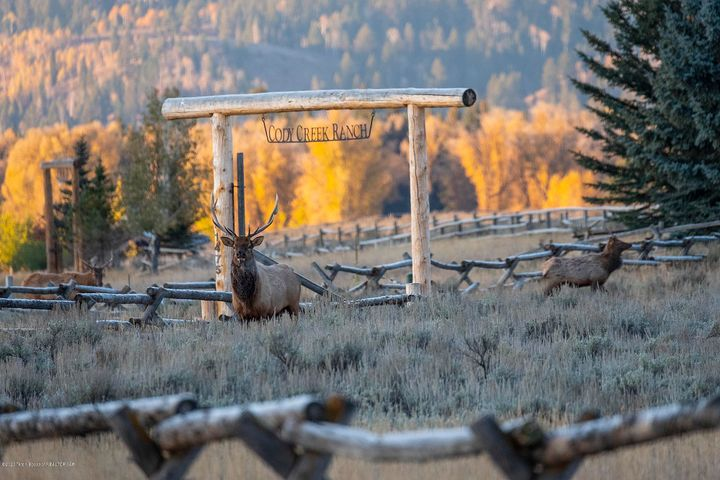 Elk-Herd-Cody-Creek-Ranch-Jackson_Hole-1