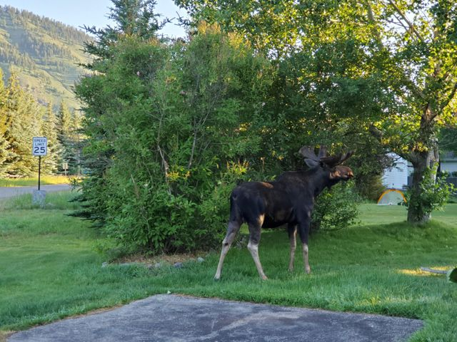 Resident Moose